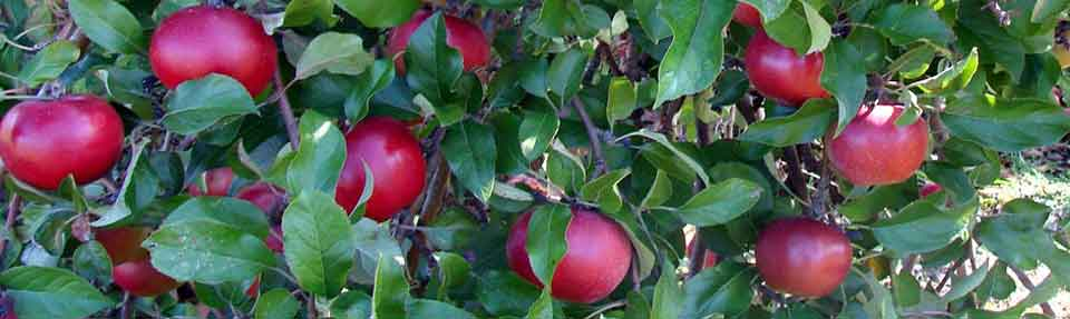 Ripe apples on apple tree