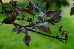Powdery Mildew on a Crabapple Tree